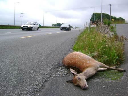 Odgovornost Darsa pri povoženju divjadi na avtocesti 1