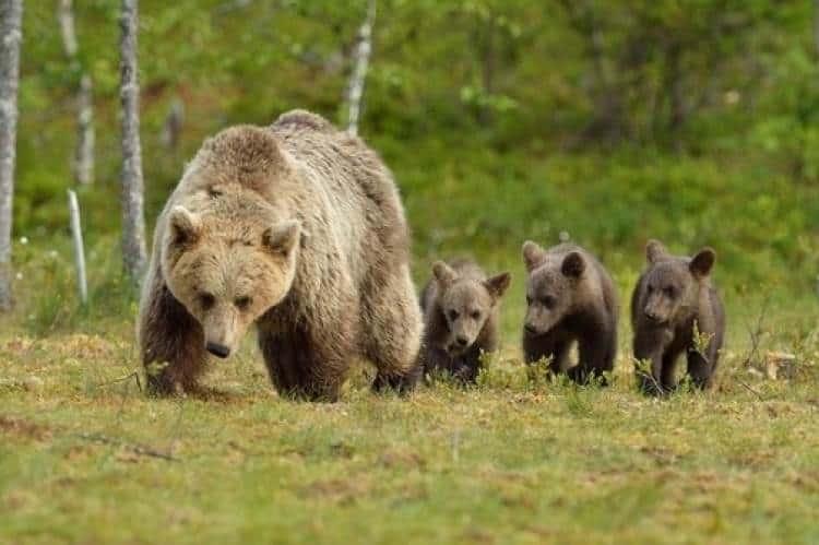 Zanimivo: tožba države za vračilo že izplačane odškodnine zaradi napada medvedke 1